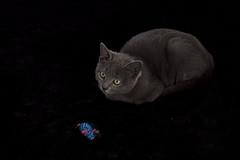Grey (jaocana76) Tags: cat gato india jaocana76 juanantonioocaa campodegibraltar canoneos7d canon100400 animal animales mascotas
