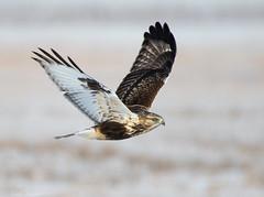 Rough-legged Hawk (Nick Saunders) Tags: roughleggedhawk hawk buteo birdofprey predator prairies canada saskatchewan wingspread winter bird birding