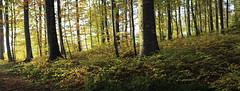golden light (mamuangsuk) Tags: goldenlight forestpanorama panoforet barks trunks goldenleaves autumnforest foretenautomne forestainautunno woods sunnyautumn sousbois sidelight lumieredoree 6d ef50mmf14usm stitchedpanorama mamuangsuk