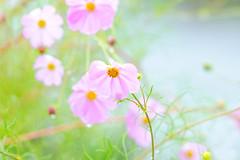 Cosmos in The Rain :  (Dakiny) Tags: 2016 autmn november japan kanagawa yokohama aoba ichigao outdoor nature field plant flower blossom cosmos pink macro bokeh nikon d7000 sigma apo 70200mm f28 ex hsm apo70200mmf28dexhsm sigmaapo70200mmf28dexhsm nikonclubit