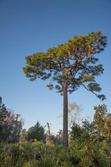 Flat top (tfhammar) Tags: slash pine lakepark tampa florida