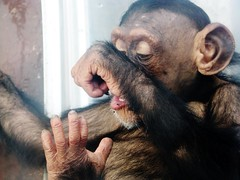 Pan troglodytes --  Chimpanzee child at rest 1375 (Tangled Bank) Tags: asahiyama zoo hokkaido japan japanese asia asian animal zoological gardens pan troglodytes chimpanzee child play 1367 primate chimp juvenile ape