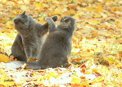 whacking (judecat (back with the pride)) Tags: catsfighting leaves fall autumn longhairedgreycats sally vinny