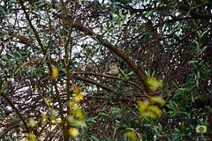 Moineaux femelles poses sur un olivier (Ath Salem) Tags: algrie algeria nature macro arbre tree olivier olive moineau femelle mle dcouverte discover beautiful couple sparrow   female     zoologie zoology nikon d5200 nikkor 55200mm