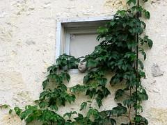 Cherchez le chat (Doonia31) Tags: fentre chat lierre plante mur animal cachette sculpture laromieu gers insolite