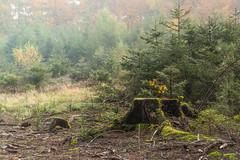 Gone (Petr Skora) Tags: les paez podzim strom vlet nature forest tree mist for light lonely stump