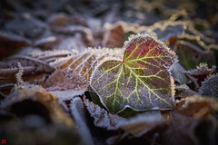 first frost (blattboldt) Tags: frost ersterfrost firstfrost efeu ivy sonyilce7m2 alpha7m2 zeiss batis25mmf20 batis225 nature emount cold kalt vignetting     wideangle weitwinkel bokeh sonyflickraward lierre gel whitetouch crystal circular polarizer polarisationsfilter flash blitz reflectyourworld appreciatingivy   raufreif blatt boden ground herbst autumn   simple simplicity einfach einfachheit wideopen offenblende f20 leafveins wrde diginity ruhe silence shallowdof unschrfe bokehmonster resonanz harmonie sprde unaufdringlich meditation poem visualpoetry stille gedicht