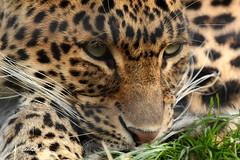 North-Chinese leopard (K.Verhulst) Tags: leopard panter cats northchinesepanter northchineseleoperd hoenderdaell landgoedhoenderdaell annapauwlona nl