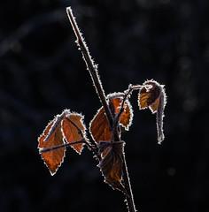 Icy fringe (ashokboghani) Tags: ice icecrystals winter fall transition backlight cranberrybog carlisle massachusetts newengland