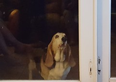 Basset begging to be let in (the queen of subtle) Tags: fall 2016 keywest dog basset
