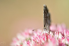 Pink (Marion_Sc) Tags: nikon nikkor d5200 photo photographie photography macro papillon butterfly azur bleu cleste adonis blue polyommatus bellargus insect insecte jardin garden herbe grass extrieur pollen wild wildlife sauvage f28 105mm plante animal calme cacyreus marshalli