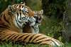 Grumpy Kid. (Chris Sweet 85) Tags: marwellzoo flickrbigcats nikon nikond7100 nature