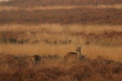 Looking Out For Lurcher's (Derbyshire Harrier) Tags: reddeer 2016 peakdistrict peakpark derbyshire easternmoors winter rspb nationaltrust wildreddeer hinds bigmoor moorland grazing watching lookout bracken heather