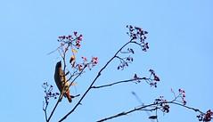 Waxwing 2 (Sybalan,) Tags: birds blueskies benmoregardens argyllandbute water wildlife westcoast woodland wild wood trees tranquility botanicalgardens cowal canon 760d mist outdoor ornithology landscape