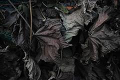 20161205_DP0Q6898 (NAMARA EXPRESS) Tags: street plant leaf deadleaf evening winter cloudy outdoor color foveonclassicblue toyonaka osaka japan foveon sigma dp0 quattro wide ultrawide superwide namaraexp