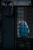 In cage... (Le Gerbignol) Tags: budgerigar budgie shell parakeet perruche ondulee cage oiseau prison