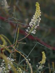 Grevillea intricata, Kings Park, Perth, WA, 02/09/16 (Russell Cumming) Tags: plant grevillea grevilleaintricata proteaceae kingspark perth westernaustralia