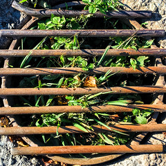 Grate with Greens (Timothy Valentine) Tags: 0816 squaredcircle vacation 2016 yarmouth novascotia canada ca