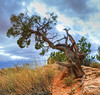 Tuff old Juniper (jgbirdmangrossinger) Tags: they have an incredible root system that lets them hang for dear life juniper weathered tree joegrossinger