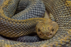 DSC01004 (mac_prv) Tags: animal yellow zoo eyes head reptile snake houston scales rattle