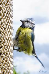 Dressed for dinner ? (sparkeyb) Tags: blue summer bird yellow garden nikon tit wildlife feeder tamron f28 bluetit scruffy 2875mm dressedfordinner d7000 sparkeyb