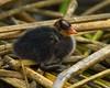 AMERICAN COOT (sea25bill) Tags: california morning orange lake black reeds spring wildlife young chick americancoot