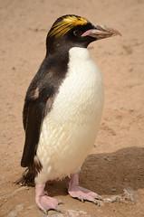 African Penguin (Simon Crowther Photography) Tags: africa uk sea england holiday bird beach animal zoo penguin coast living seaside google nikon flickr african tourist devon torquay torbay southdevon livingcoast d7000
