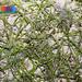 Noodle seagrass (Syringodium isoetifolium)