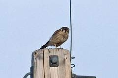 032034-IMG_6484 American Kestrel (Falco sparverius) (ajmatthehiddenhouse) Tags: usa bird colorado americankestrel falco falcosparverius sparverius 2013