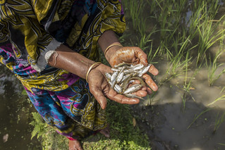 A woman holds Mola harvested from her pond in Rangpur, Bangladesh. Photo by Holly Holmes, 2013.