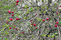 IMG_1120 (moutoons) Tags: fruit jaune automne rouge eau couleurs rivière pont porte nuage gorges tarn marron cascade arbre château champignon brume verte pomme croix feuille poire légume quézac lozère cévennes coing ispagnac