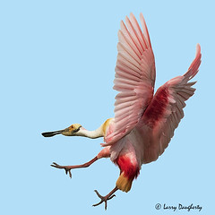 Get out of my way!  I'm landing!..............D800 (Larry Daugherty ~ very slow for several days) Tags: bird nature nikon louisiana ngc aves npc animalia d800 spoonbill roseatespoonbill newiberia pelecaniformes wadingbird plataleaajaja chordata threskiornithidae platalea pajaja nikond800 saariysqualitypictures nikon300mmf4lens southcentrallouisiana mygearandme