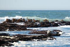 Lounging (Steve W Lee) Tags: ocean sleeping wave sleepy seal lounging tidepools harborseal harbourseal fitzgeraldmarinereserve sleepingseal commonseal phocavitulina