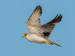 Grey Falcon (Falco hypoleucos) - The Mythical Bird Does Exist! (David Cook Wildlife Photography) Tags: australia nsw sturtnationalpark greyfalcon kookr falcohypoleucos davidcookwildlifephotography lakepinaroo sonyslta77v ©2013davidcookwildlifephotographyallrightsreserved sonysal300f28g2 sonysaltc14