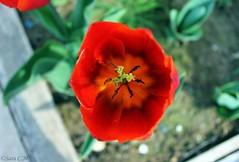 Tulipn rojo. (Sara C.M) Tags: flowers red naturaleza flores nature garden rojo flora tulip jardn liliaceae tulipn tulipasp canoneos550d efs1855mmisii