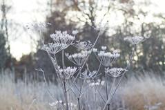 Sunlight Bokeh (nancy II) Tags: sunlight morninglight frost crystals bokeh cowparsley