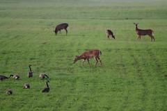 Geese Deer (Vegan Butterfly) Tags: canada birds animals geese flock deer whitetail