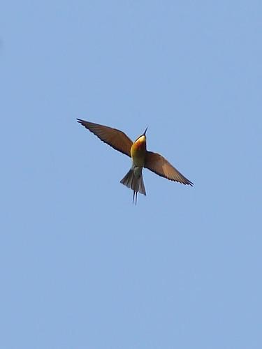 Синехвостая щурка Blue-tailed Bee-eater Merops philippinus