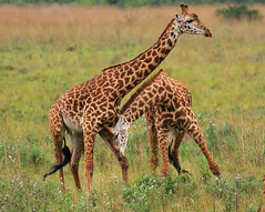 Male Masai Giraffe fighting (Rainbirder) Tags: kenya giraffacamelopardalistippelskirchi masaigiraffe nairobinationalpark rainbirder