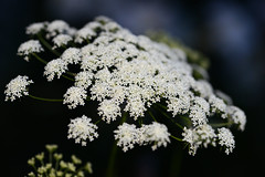 Queen Anne's Lace (PhotosbyDi) Tags: flowers white blur nature garden nikon bokeh queenanneslace d600 tamronf2890mmmacrolens