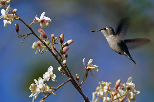 A female Bee Hummingbird, Mellisuga helenae, hovering before feeding.