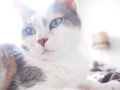 Calico Glam (Raccoon Photo) Tags: girls pet cats pets cute girl animals female cat fur cow furry feline play adorable kitty moo pixie sleepy playful cutecat stardust petcats femalecat petcat girlcat kamalani girlcats femalecats pixiestardust pixieboingo kamalanimoocow