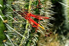 Quintral (pbloc) Tags: cactus quintral tristerixaphyllus