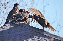 Vultures Not so Secret Rooftop Meeting (Maggggie) Tags: house bird rooftop turkeyvulture