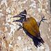 Burhachapori Birds-8 - Chrysocolaptes lucidus
