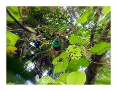 Yes, we spotted a Quetzal (Lucsaflex) Tags: bird costarica monteverde quetzal nevelwoud