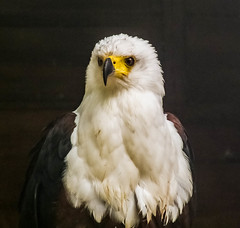 the judge  [explored] (carol_malky) Tags: eyes eagle birdofprey iflookscouldkill explored specanimal abigfave avianexcellence sunrays5 lookslikejudge