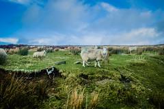 Irish winter (sxdlxs) Tags: road ireland winter light sunset sky sun nature clouds forest landscape sheep natur roadtrip irland flare wicklow schafe