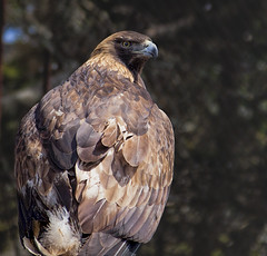 Golden Eagle 1 (Largeguy1) Tags: bird canon golden eagle mark ii 5d approved