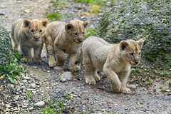 Three cubs in a row (Tambako the Jaguar) Tags: winter wild baby cute cat walking zoo cub switzerland three big nikon small lion young file row basel together zolli d4